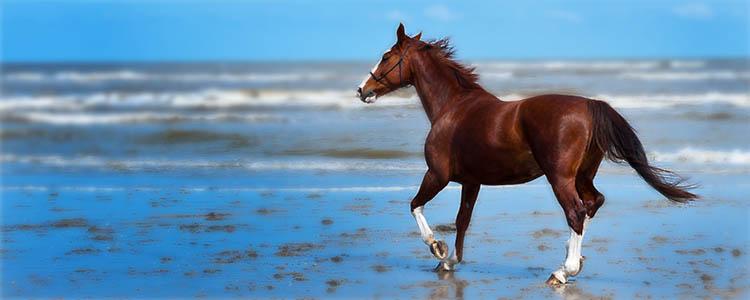 Navicular in horses